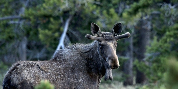 photo of moose in forest